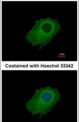 SERPINE2 Antibody (PA5-32163) in Immunofluorescence