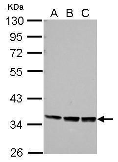 PRR5 Antibody (PA5-32185) in Western Blot