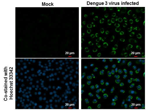 Dengue Virus Type 2 NS2B Antibody (PA5-32196) in Immunofluorescence