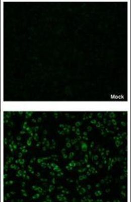 Dengue Virus Type 2 NS4B Antibody (PA5-32198) in Immunofluorescence