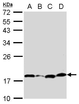 Bcl-xS Antibody (PA5-32203) in Western Blot