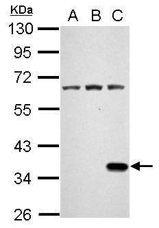 Renilla luciferase Antibody (PA5-32210) in Western Blot