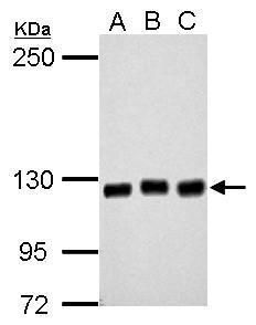 GEF-H1 Antibody (PA5-32213) in Western Blot