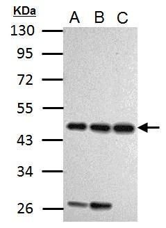 Cyclin I Antibody (PA5-32230) in Western Blot