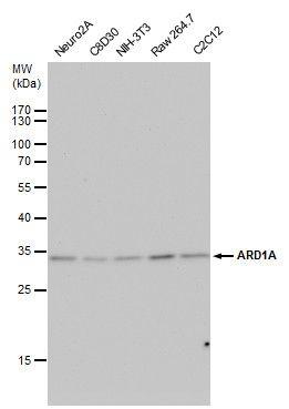 ARD1A Antibody (PA5-32236) in Western Blot