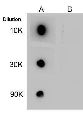 GABA Antibody (PA5-32241) in Dot blot