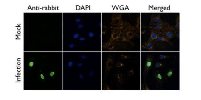 Influenza A NP Antibody (PA5-32242) in Immunofluorescence