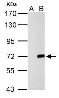 Cre recombinase Antibody (PA5-32245)