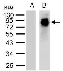 PEG Antibody (PA5-32247) in Western Blot