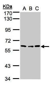 Angiopoietin 4 Antibody (PA5-34646) in Western Blot