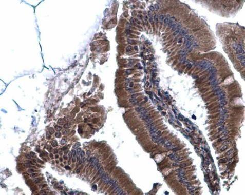 Calnexin Antibody (PA5-34665) in Immunohistochemistry (Paraffin)