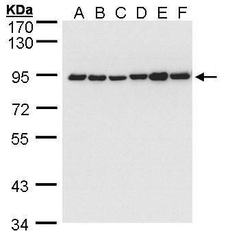 Calnexin Antibody (PA5-34665) in Western Blot