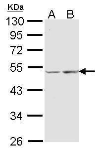 COX15 Antibody (PA5-34681)