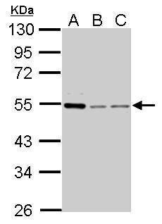 Cyclin A2 Antibody (PA5-34682) in Western Blot