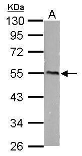 CaMKI gamma Antibody (PA5-34711)