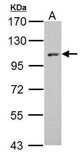 HEF1 Antibody (PA5-34713) in Western Blot