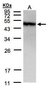 PIST Antibody (PA5-34715) in Western Blot