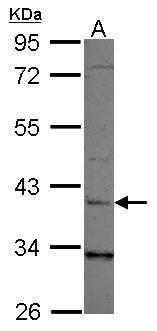 LRG1 Antibody (PA5-34728)