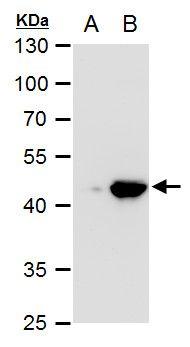 PDK1 Antibody (PA5-34729) in Western Blot