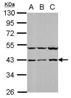 p38 MAPK alpha Antibody (PA5-34769) in Western Blot