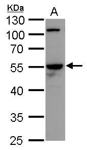 Cdc20 Antibody (PA5-34775)