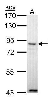 Angiopoietin 4 Antibody (PA5-34780) in Western Blot