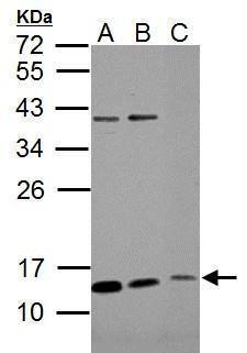 ROPN1B Antibody (PA5-34792) in Western Blot