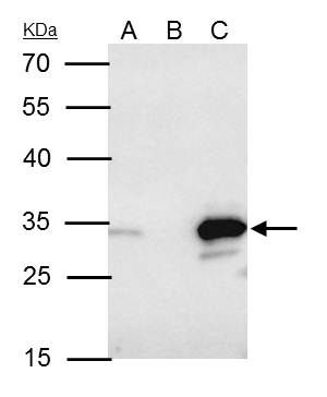 Bcl-10 Antibody (PA5-34800) in Immunoprecipitation