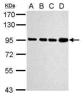 Calnexin Antibody (PA5-34804) in Western Blot