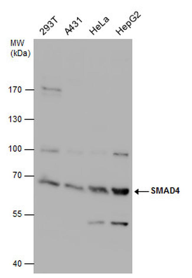SMAD4 Antibody (PA5-34806) in Western Blot