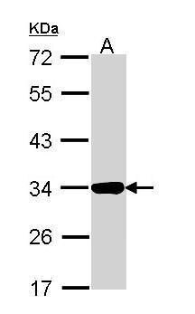 Annexin A4 Antibody (PA5-34817) in Western Blot