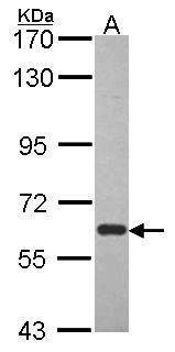 BMAL1 Antibody (PA5-34830)