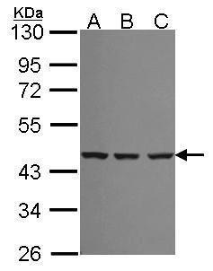 SMS Antibody (PA5-34839) in Western Blot