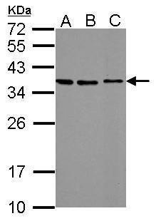STC2 Antibody (PA5-34841) in Western Blot