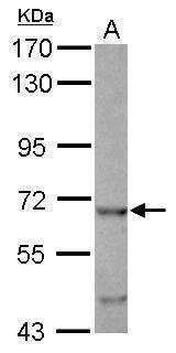 EHD4 Antibody (PA5-34850)