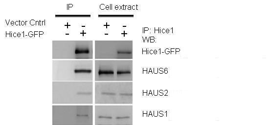 HAUS1 Antibody (PA5-34874) in Western Blot
