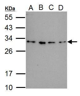 RWDD3 Antibody (PA5-34884)