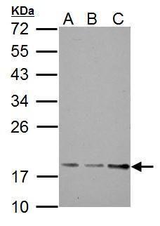 TRAPPC3 Antibody (PA5-34886)