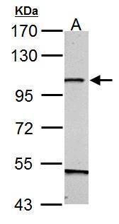 GRASP1 Antibody (PA5-34893) in Western Blot