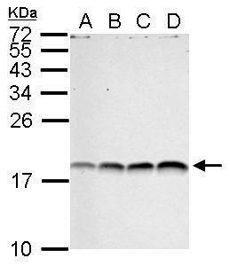 Di-Methyl-Histone H3 (Arg17) Antibody (PA5-34903) in Western Blot