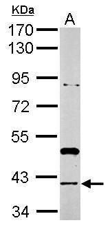 RAD51 Antibody (PA5-34905)