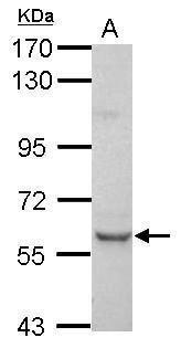PLAG1 Antibody (PA5-34907)