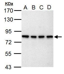 SLU7 Antibody (PA5-34916) in Western Blot