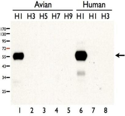 Influenza A H1N1 HA Antibody (PA5-34920)