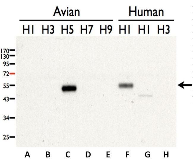 Avian Influenza H5N3 HA Antibody (PA5-34921)
