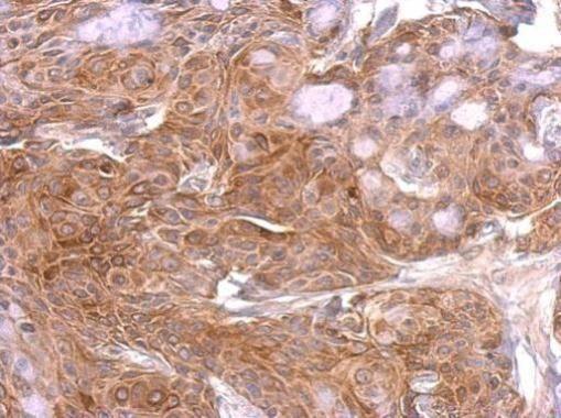 GAP43 Antibody (PA5-34943) in Immunohistochemistry (Paraffin)
