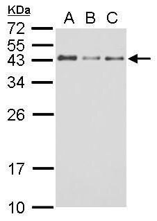 GAP43 Antibody (PA5-34943) in Western Blot