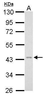 TNFRSF11B Antibody (PA5-34946) in Western Blot