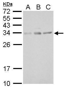 UCP4 Antibody (PA5-34952)