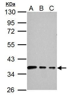 Connexin 40 Antibody (PA5-34964) in Western Blot